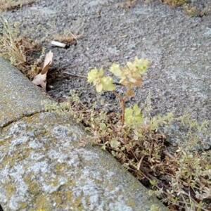 Photographie n°2485826 du taxon Euphorbia peplus L.