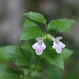Photographie n°2486461 du taxon Melittis melissophyllum L.