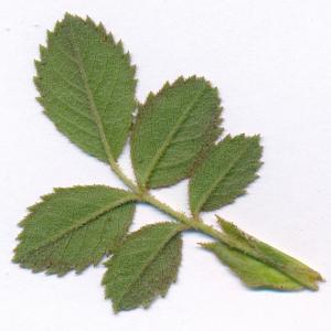 Photographie n°2486625 du taxon Rosa agrestis Savi [1798]