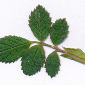 Photographie n°2486626 du taxon Rosa agrestis Savi [1798]