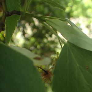 Photographie n°2488205 du taxon Tilia platyphyllos Scop. [1771]