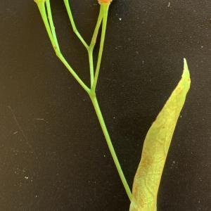 Photographie n°2489552 du taxon Tilia platyphyllos Scop. [1771]