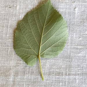 Photographie n°2489556 du taxon Tilia platyphyllos Scop. [1771]