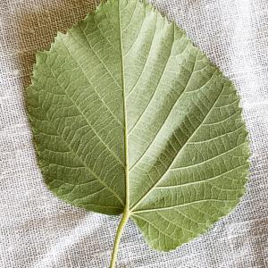 Photographie n°2489558 du taxon Tilia platyphyllos Scop. [1771]