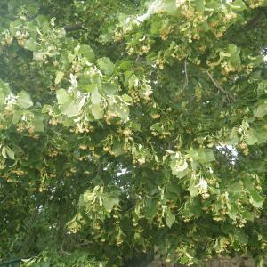Photographie n°2489571 du taxon Tilia platyphyllos Scop. [1771]