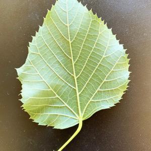 Photographie n°2489573 du taxon Tilia platyphyllos Scop. [1771]