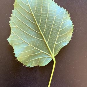 Photographie n°2489576 du taxon Tilia platyphyllos Scop. [1771]