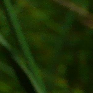 Photographie n°2490328 du taxon Lotus hirsutus L. [1753]