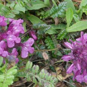 - Pedicularis verticillata L. [1753]