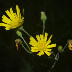 Photographie n°2493276 du taxon Hieracium laevigatum Willd. [1803]