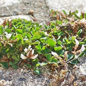 Photographie n°2493283 du taxon Trifolium subterraneum L.