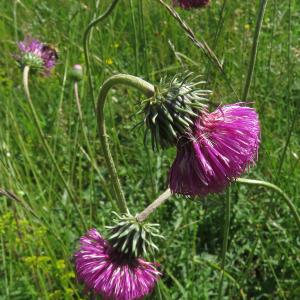 - Carduus defloratus L. [1759]