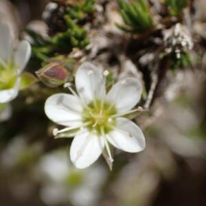 Photographie n°2494216 du taxon Cherleria laricifolia subsp. laricifolia