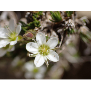 Minuartia laricifolia (L.) Schinz & Thell. subsp. laricifolia (Minuartie à feuilles de mélèze)