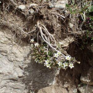 - Cherleria laricifolia subsp. laricifolia