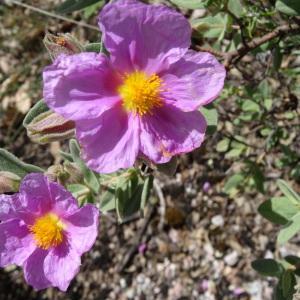 Photographie n°2494614 du taxon Cistus albidus L. [1753]