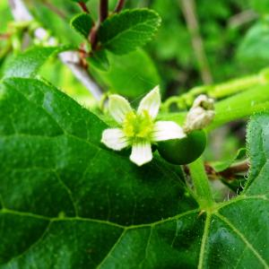 Photographie n°2498799 du taxon Bryonia dioica Jacq. [1774]