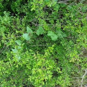 Photographie n°2498802 du taxon Bryonia dioica Jacq. [1774]