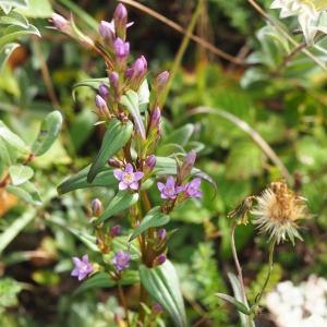Photographie n°2500548 du taxon Gentianella amarella (L.) Börner [1912]