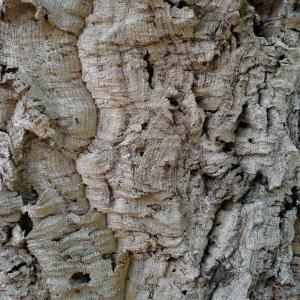 Photographie n°2502598 du taxon Quercus suber subsp. occidentalis (J.Gay) Bonnier & Layens [1894]
