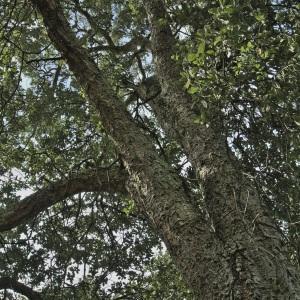 Photographie n°2502636 du taxon Quercus suber L. [1753]